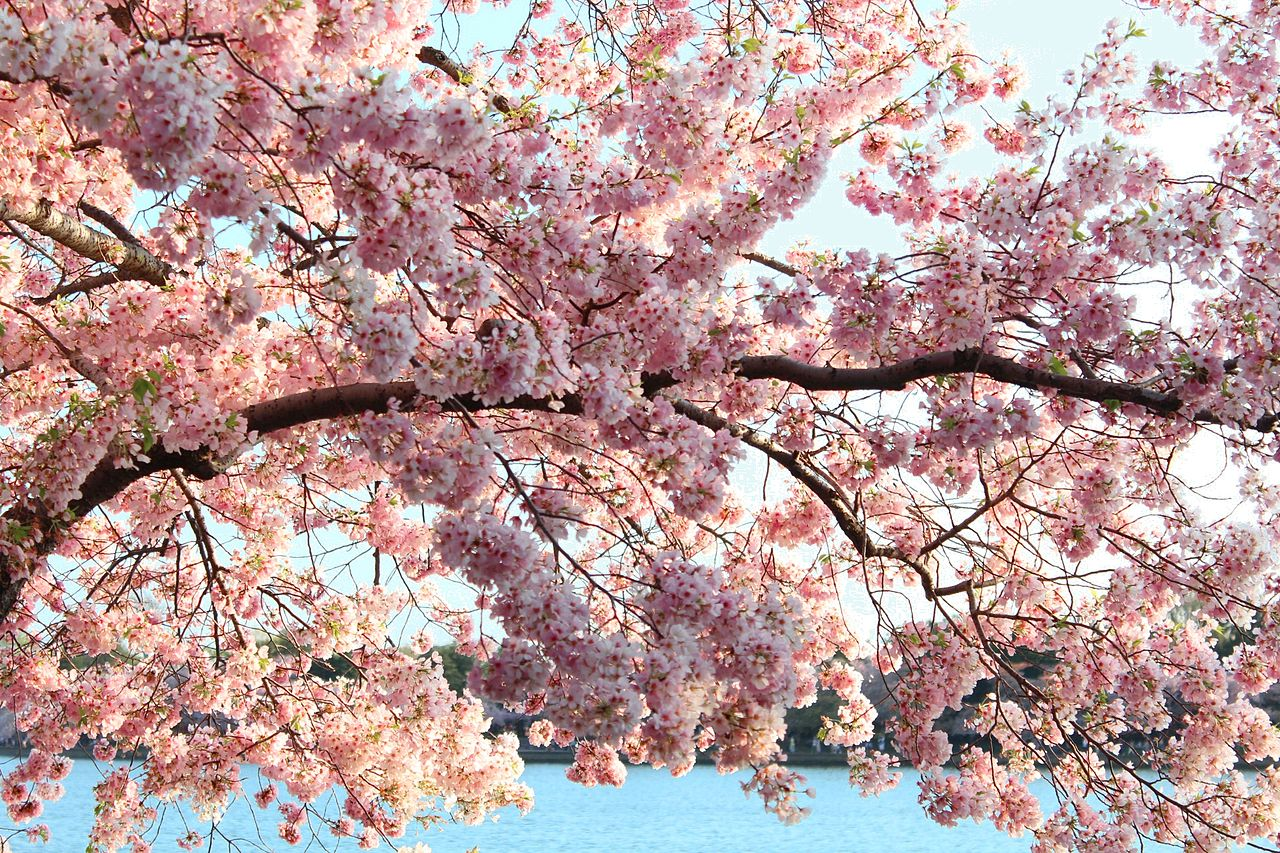 Where to Find the Best Cherry Blossoms in Copenhagen